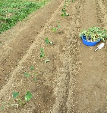 サツマイモ定植・6