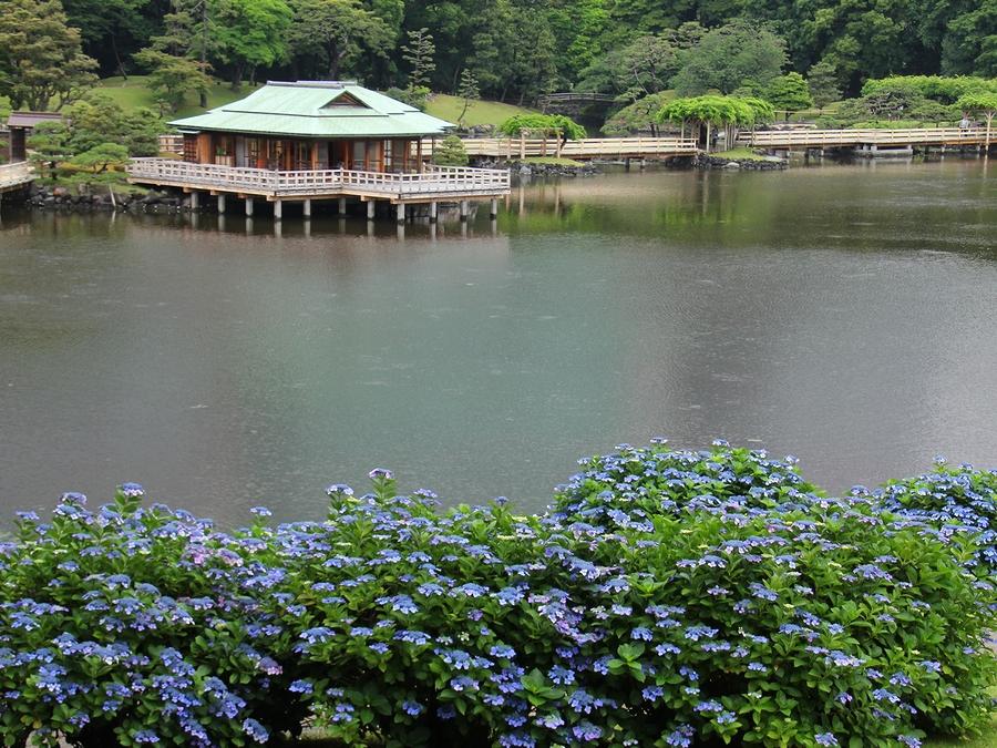 富士見山より見下ろしたアジサイ 浜離宮恩賜庭園