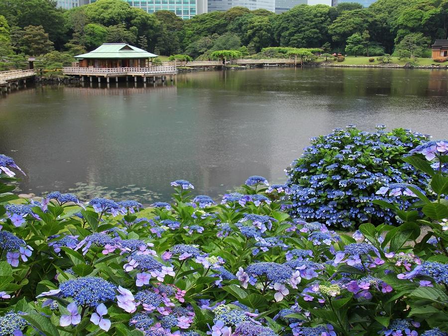 潮入の池とアジサイ 浜離宮恩賜庭園
