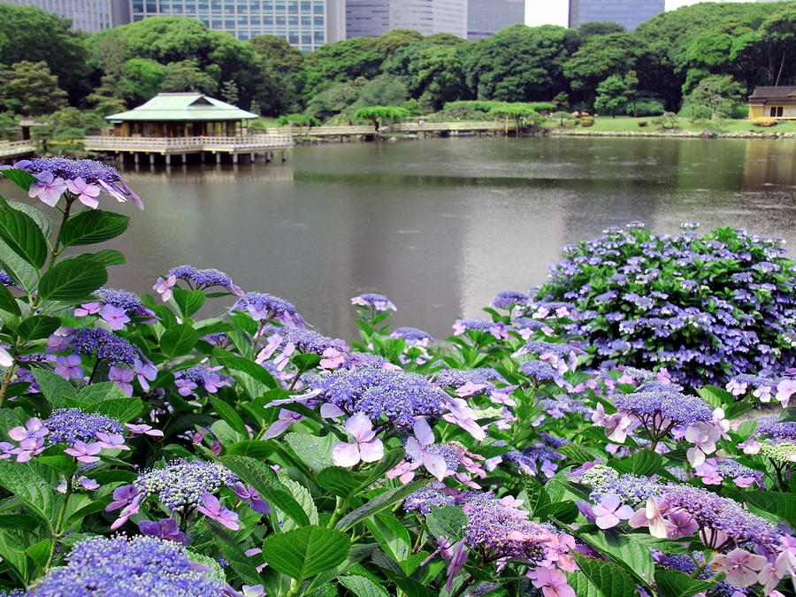 浜離宮恩賜庭園の紫陽花