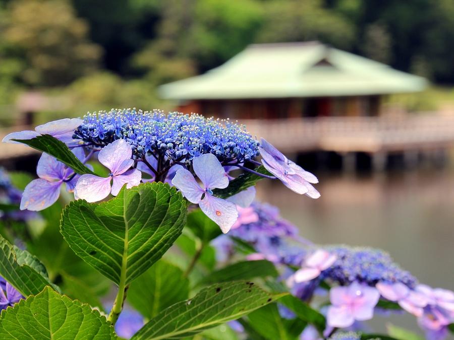 浜離宮恩賜庭園 中島の御茶屋とアジサイ