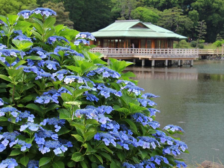 中島の御茶屋とアジサイ 浜離宮恩賜庭園