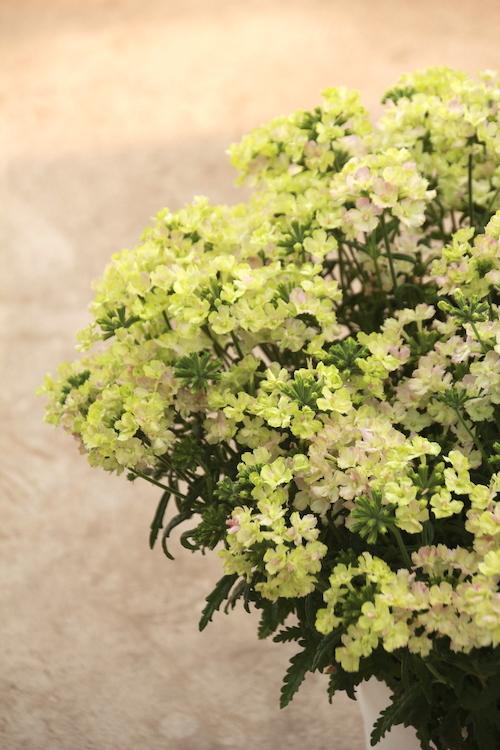グリーンピンク 1-15 虹色あられ バーベナ 育種 大鉢 松原園芸