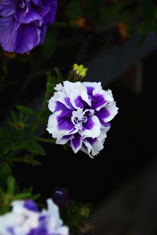 ペチュニア ダブルブルーピコティー 育種 松原園芸