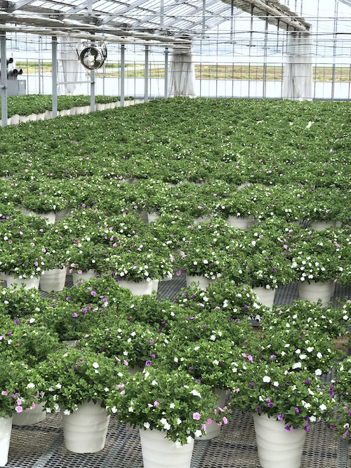 カリブラコア ティエルノ ダブル 鉢花 松原園芸