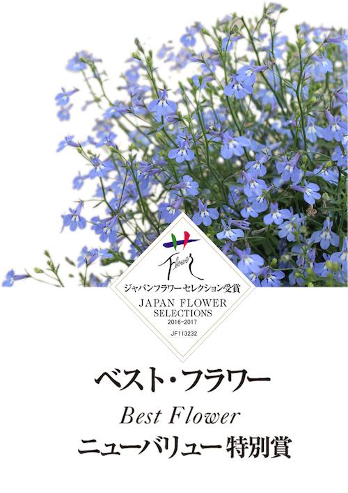 ロベリア_空色てふてふ 松原園芸