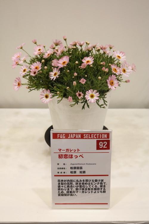 マーガレット 初恋ほっぺ 松原園芸