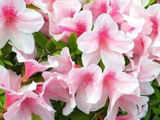 170510_4636 路傍に咲くピンクのツツジVGA