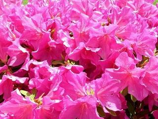 170514_4641 歩道の花壇に咲いていたツツジVGA