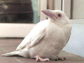 170520_5月18日京都府和束町白栖の水田近くで発見保護された白いカラス white-raven_VGA