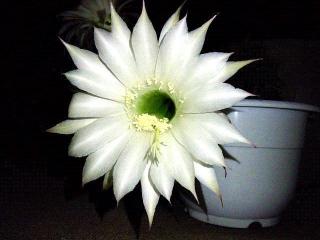170601_4679 今夜開いた「花盛丸」の花VGA