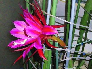 170602_4688 今夜咲いた孔雀サボテンの花(横から)VGA