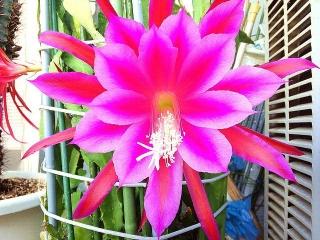 170605_4704 今朝の孔雀サボテンの花zoomVGA
