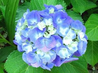 170608_4712 家の周りの花壇に咲いていた紫陽花VGA