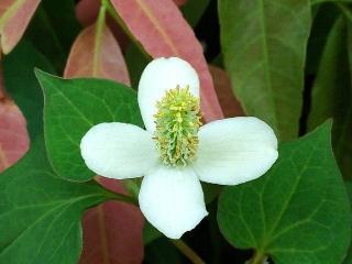 170612_4718 ご近所の庭に生垣に咲いていたドクダミVGA