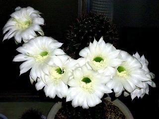 170613_4723 親サボテンの花wideVGA