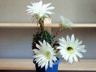 170614_4730 室内撮りの子サボテンの花VGA
