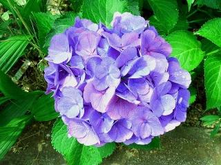 170618_4733 家の周りの花壇に咲いた紫陽花VGA