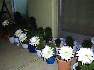170618_4736 今夜のサボテンの花たちwideVGA