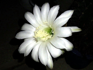 170623_4746 今夜開いたサボテンの花一輪・斜めからVGA