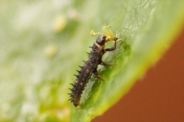 テントウムシの幼虫がアブラムシを捕食