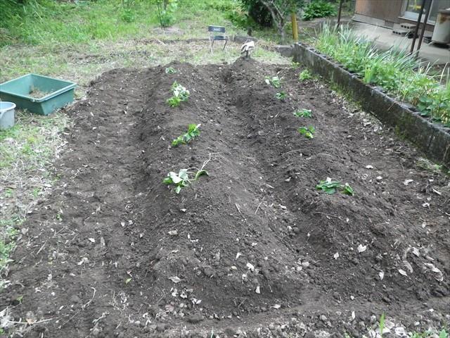 サツマイモの苗(なると金時)を植えました!