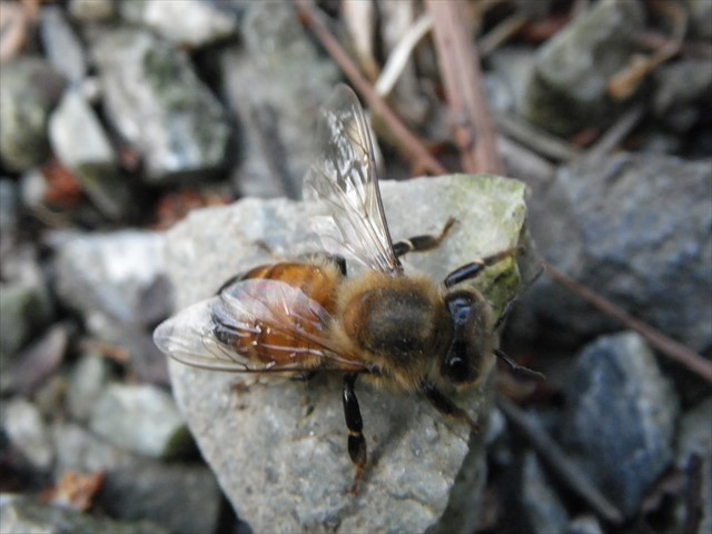 ミツバチ-3