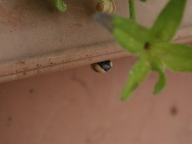 テントウムシの蛹-2