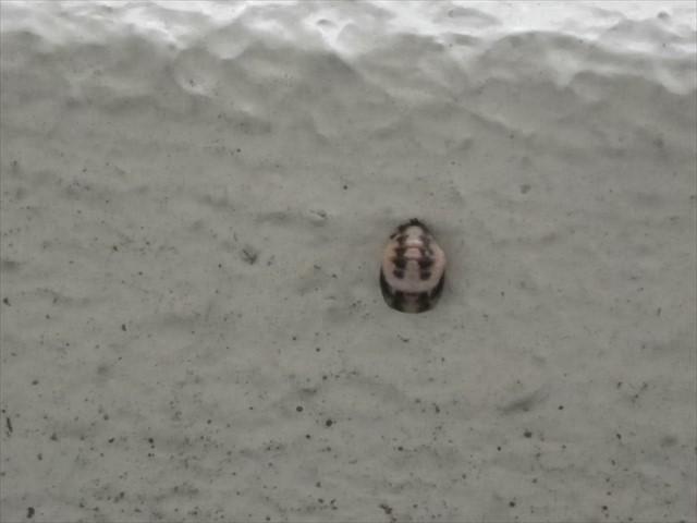 テントウムシの蛹-3
