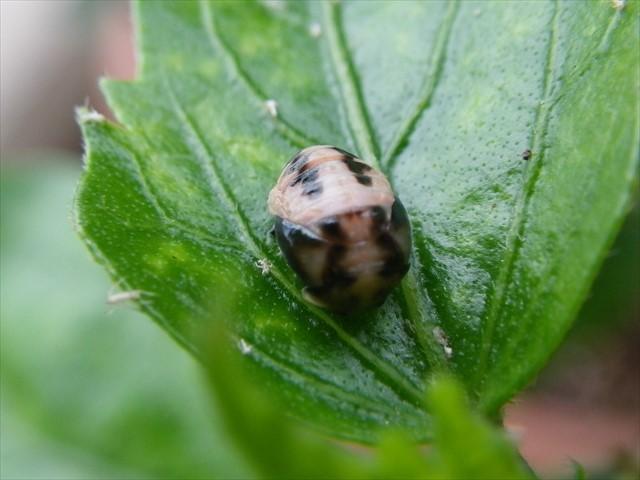 テントウムシの蛹-1