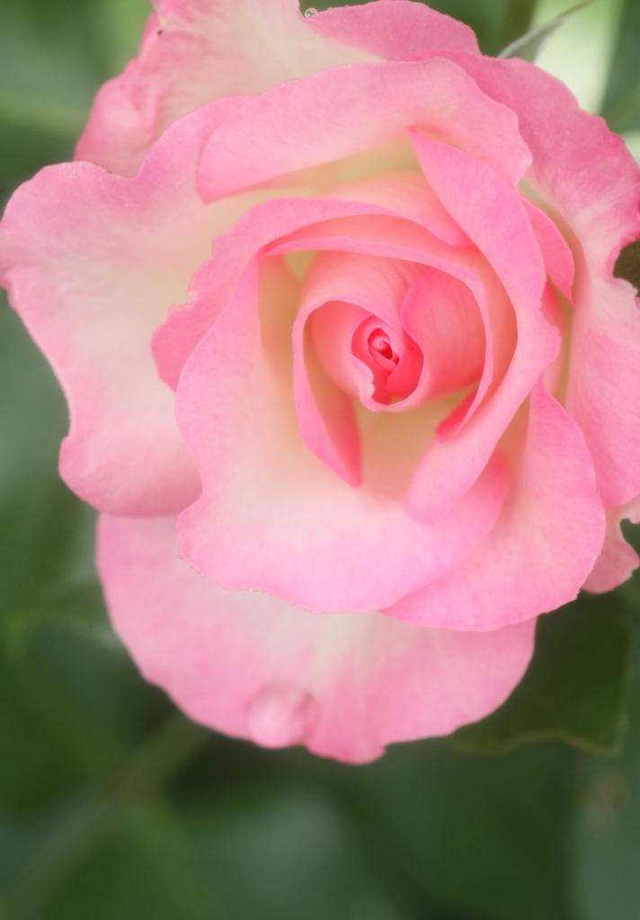 Rosa Bordure Rose