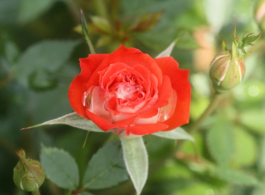Rosa Lucky Duck