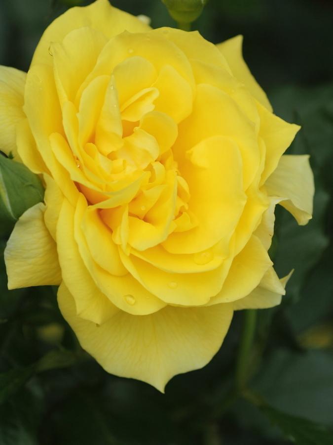 Rosa'Kogane'