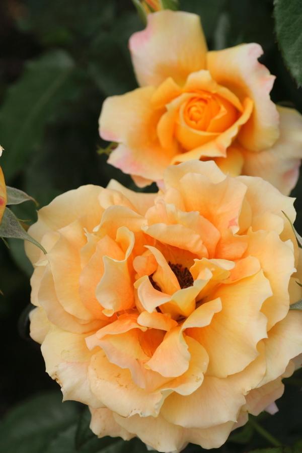 Rosa'Manyo'