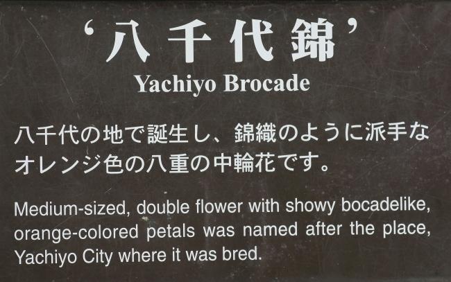 Yachiyo Brocade