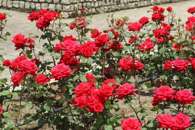 Rosa Kardinal