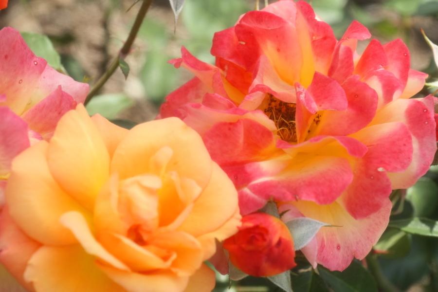 Rosa Souvenir de Anne Frank