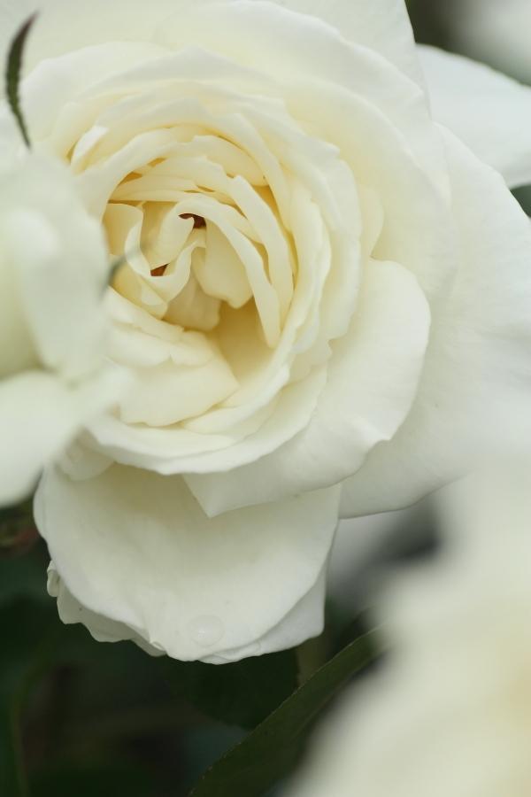 正雪 Rosa'Masayuki'
