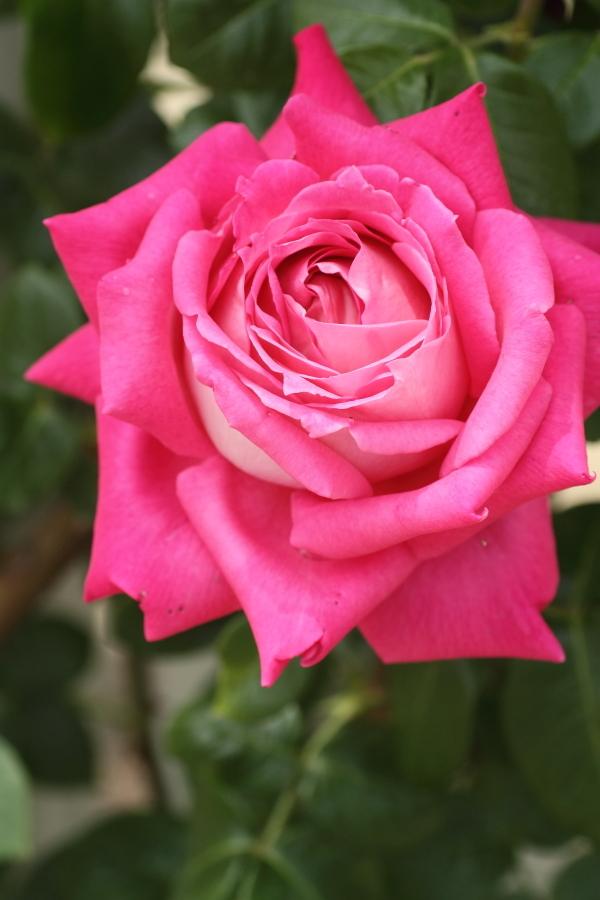 Rosa Climbing Eden Rose