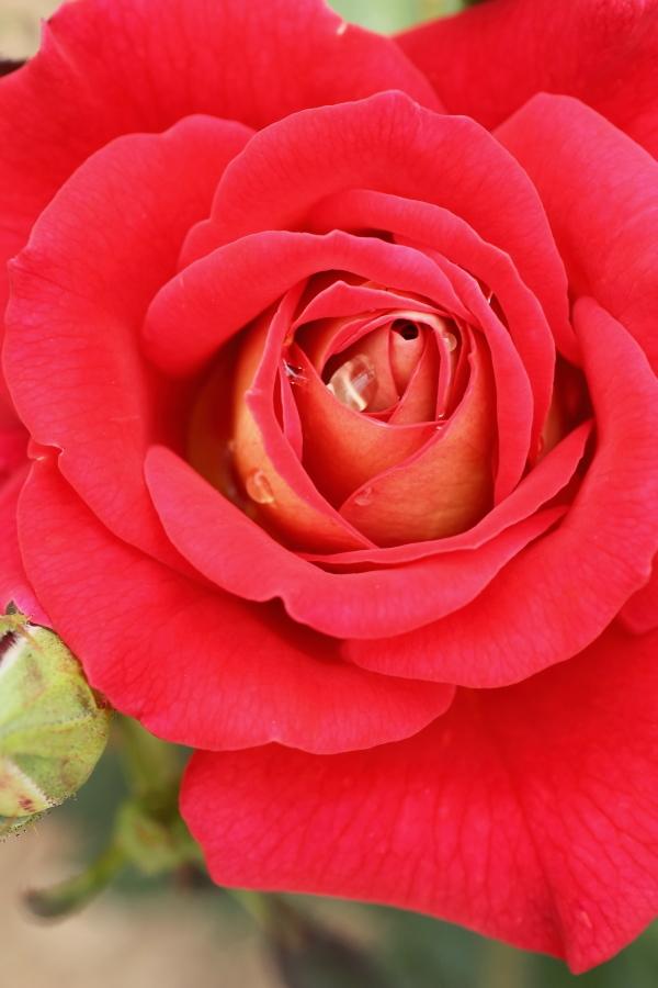 Rosa'Ayaori'