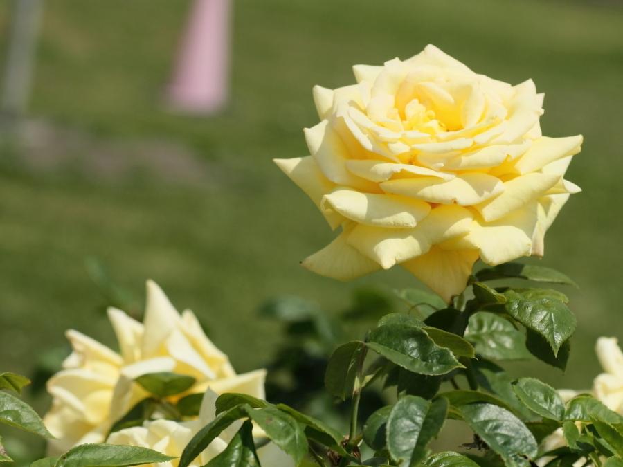 Rosa'Amatsu Otome'