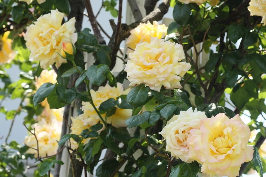Rosa Climbing Peace