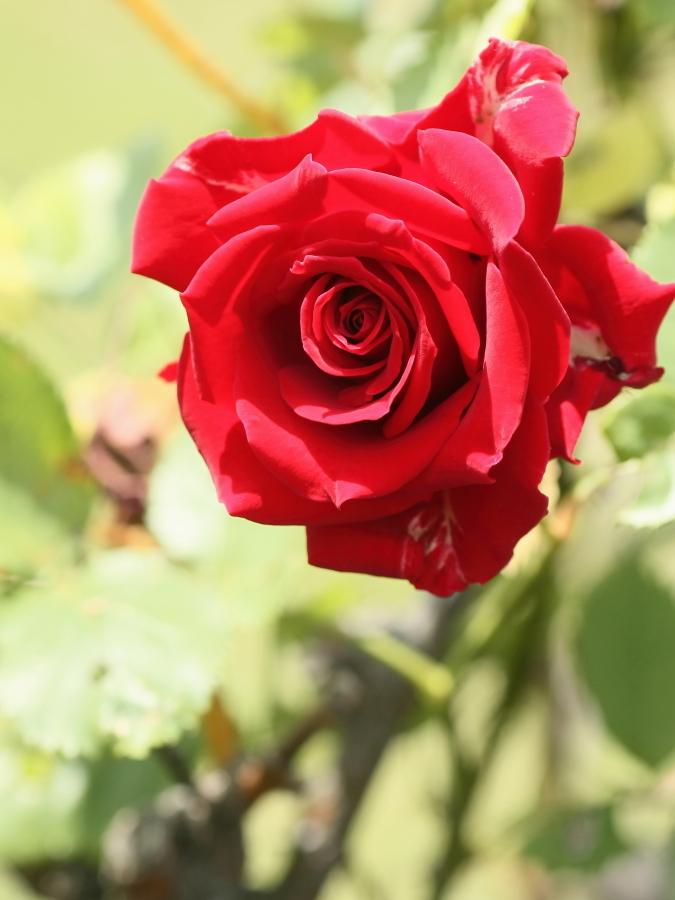 Rosa'Kurama'