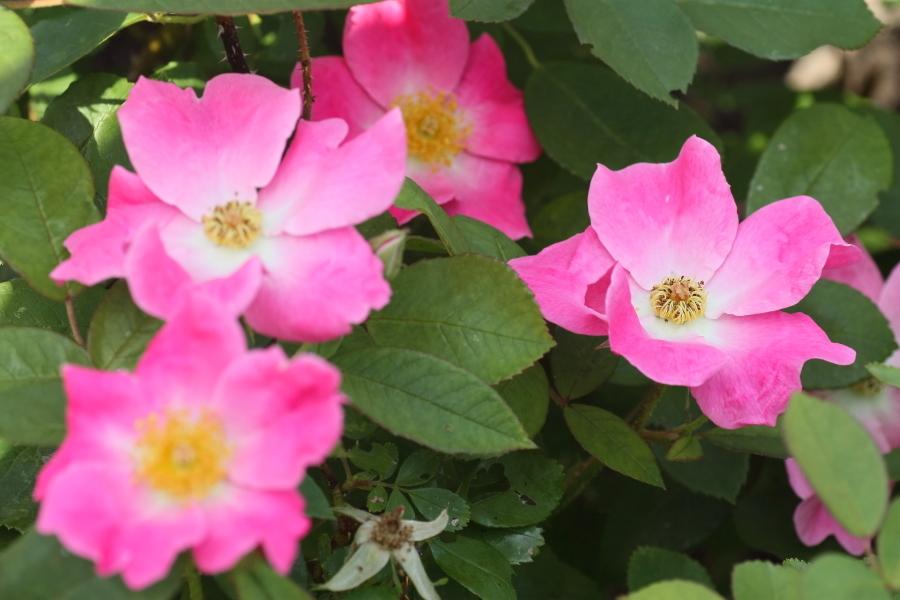 Rosa Nearly Wild