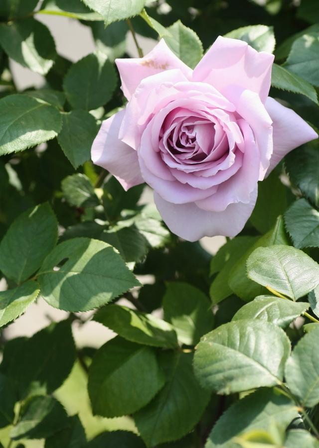 Rosa Blue Moon