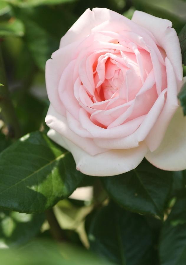 Rosa Royal Highness