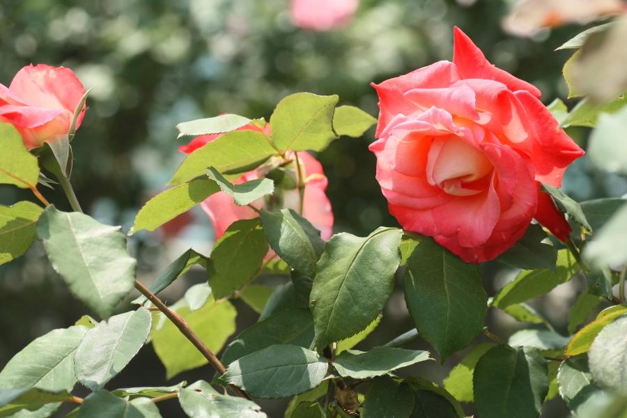 Rosa Brigadoon