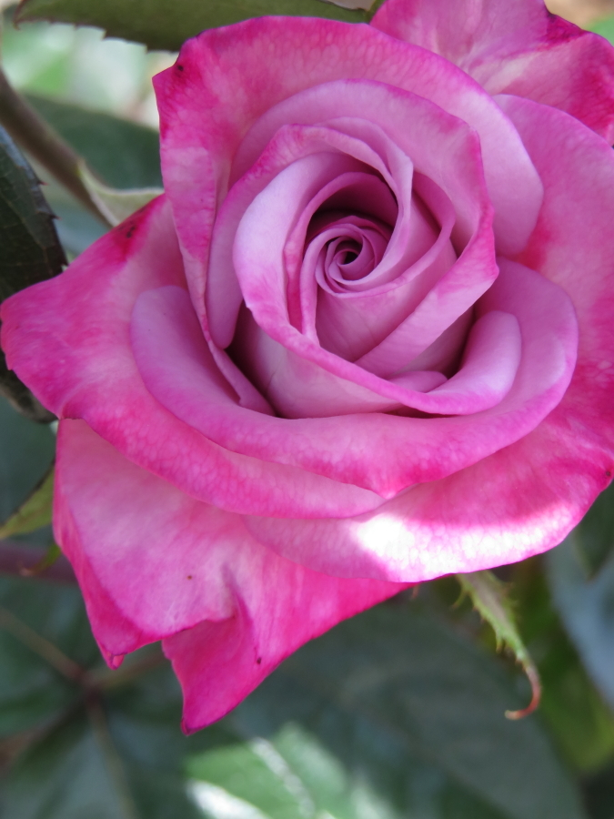 Rosa Pastel Mauve