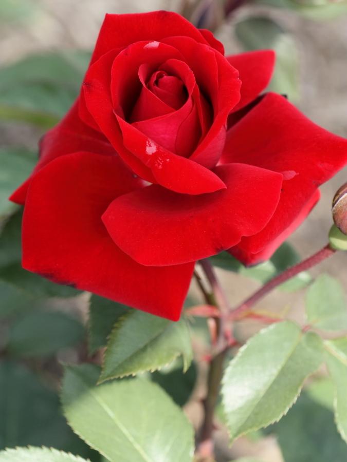 Rosa Gartenzauber '84
