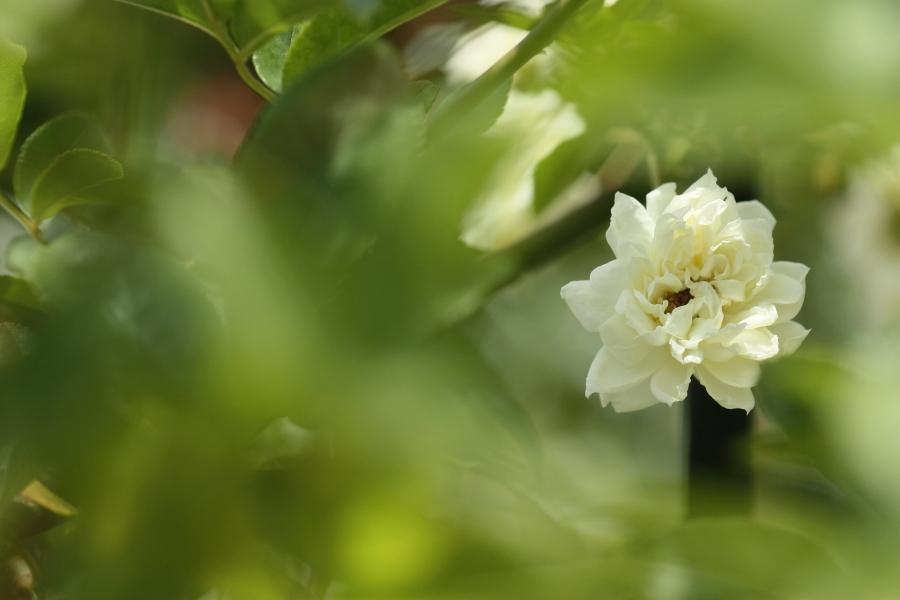 Rosa banksiae Aiton'Alba'